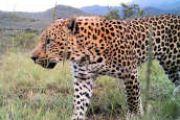 Leopards of McGregor